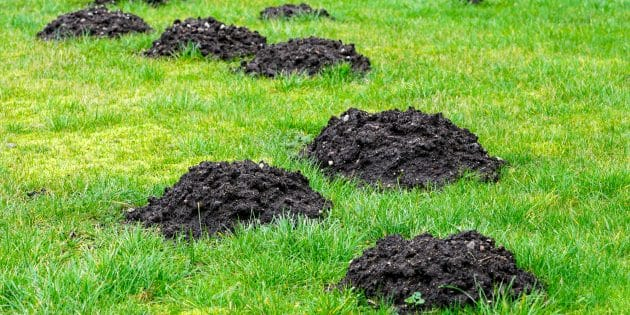 How to Get Rid of Moles in Yard